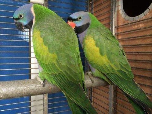 大绯胸鹦鹉的繁殖与管理